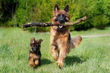schaeferhund-bubeck-welpe