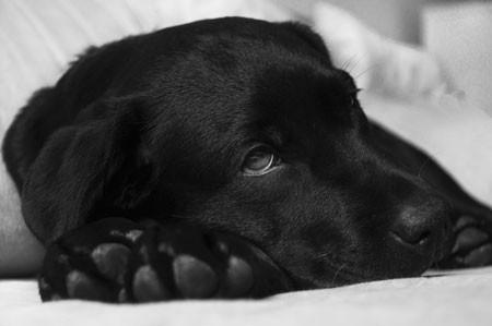 Bubeck-Hund-Labrador