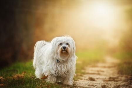 Bubeck-Havaneser-Hund-Waldweg