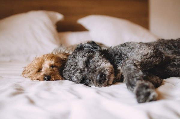 Bubeck-Hund-im-Bett
