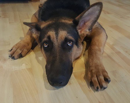 hund-angst-schaeferhund