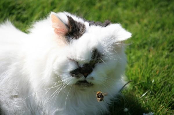 Bubeck-Katze-Insekten