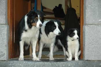 border-collie-bubeck-familie