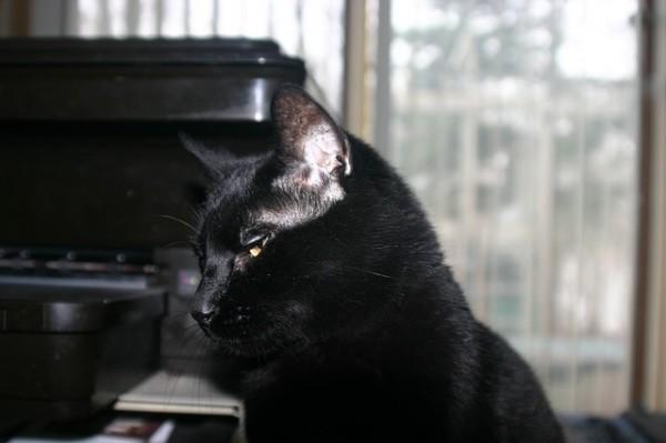 Bubeck-Bombay-Katze