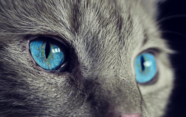 Bubeck-Katze-Augen