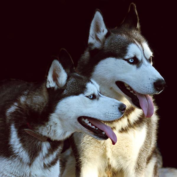 Husky-Paar_Bubeck_petfood