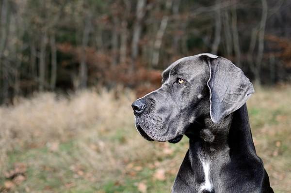 Bubeck-D-nische-Dogge