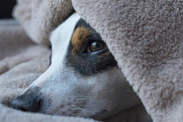 Bubeck-Hund-unter-der-Decke