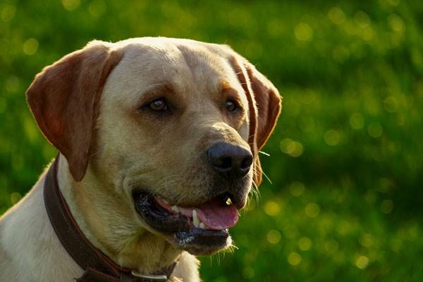 Labrador-klein