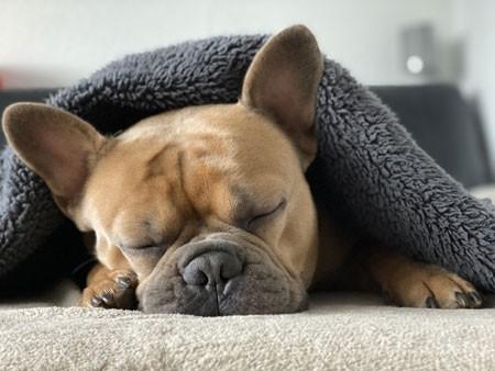 Hund-unter-der-Decke
