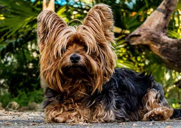 yorkshire-terrier_Bubeck_petfood