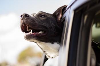 Hund-Auto